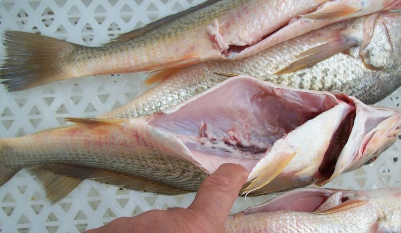 É conveniente estripar o pescado?